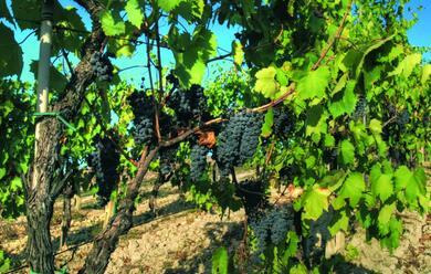 Immagine News - il-sangiovese-au-il-vitigno-pia1-coltivato-in-italia-e-la-romagna-docet
