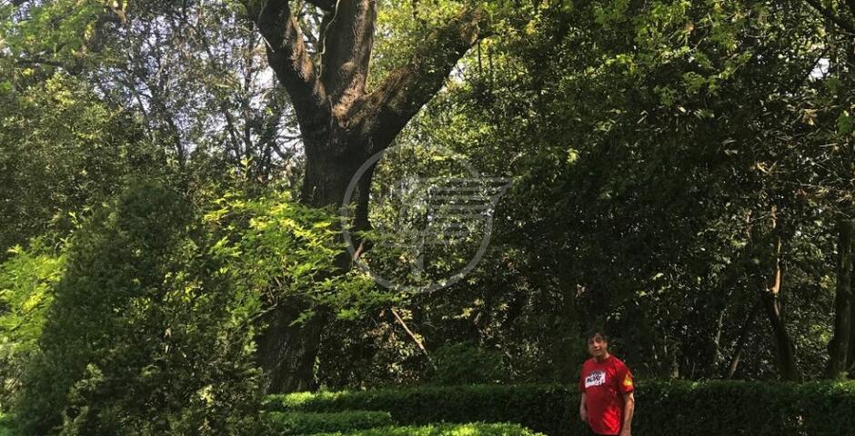 Una quercia piantata dai Malatesta a Covignano