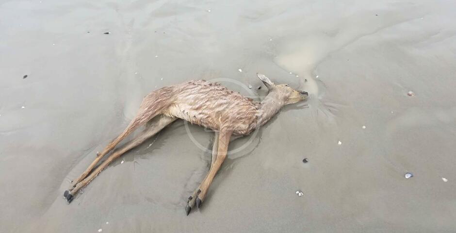 Un capriolo morto sulla spiaggia di Torre Pedrera