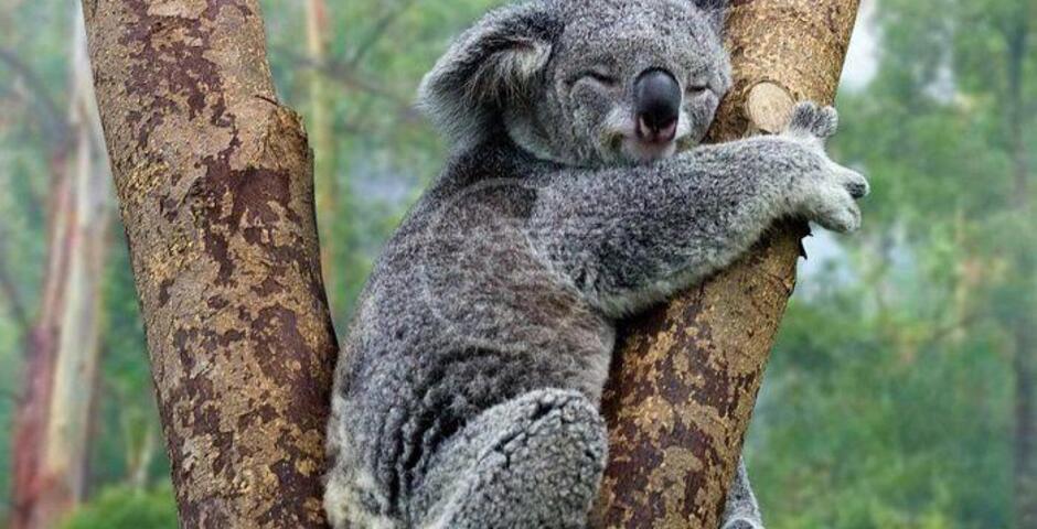 """I koala sono """"funzionalmente estinti"""". E noi sospiriamo"""