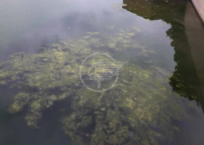 Ci risiamo: troppe alghe all'invaso del ponte di Tiberio