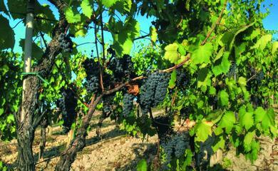il-sangiovese-au-il-vitigno-pia1-coltivato-in-italia-e-la-romagna-docet