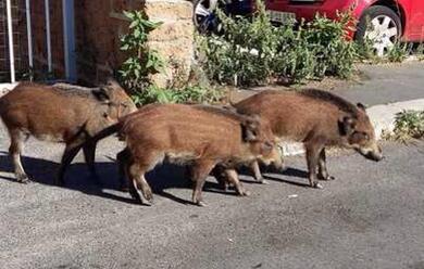 Immagine News - a-mondaino-nel-riminese-scuole-chiuse-per-la-caccia-al-cinghiale-selvatico