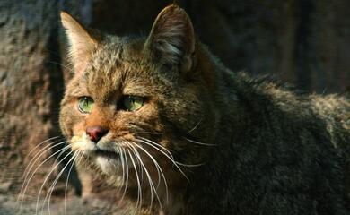 vena-del-gesso-il-ritorno-del-gatto-selvatico-avvistamento-quotstraordinarioquot