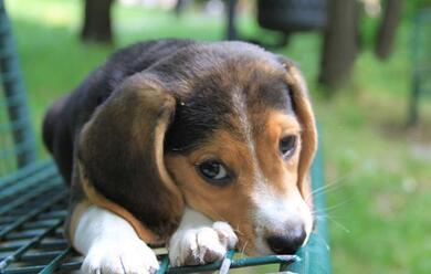 Immagine News - ravenna-traffico-illecito-di-cuccioli-di-cane-11-indagati