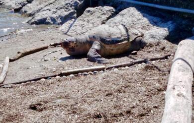 Immagine News - porto-corsini-trovata-spiaggiata-una-tartaruga-marina-alla-diga-foranea-nord