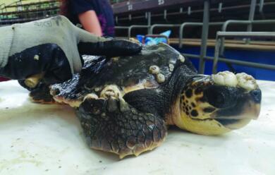 Immagine News - marina-di-ravenna-nel-40-delle-tartarughe-cau-plastica