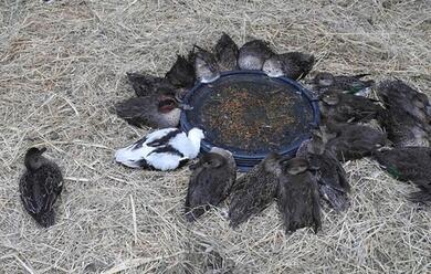 Immagine News - ravenna-valle-della-canna-procura-al-lavoro-quasi-3mila-uccelli-morti