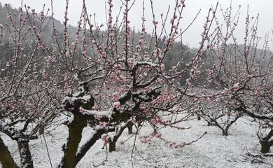 dopo-le-gelate-di-ieri-la-neve-sui-campi-da-frutta-fra-casola-riolo-e-brisighella-coldiretti-quotcolpo-di-graziaquot